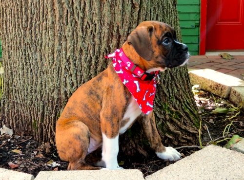 Belle, AKC female Boxer at 8 weeks.