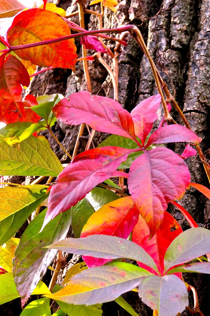 Virginia Creeper turning crimson.