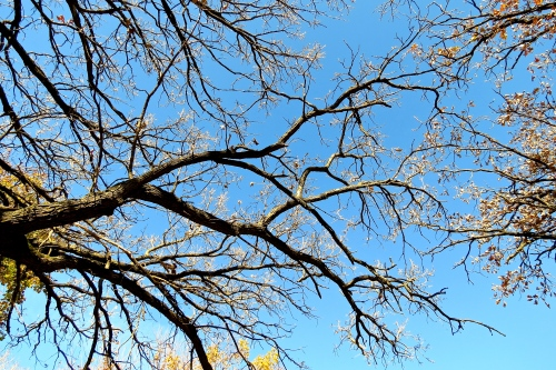 Our oak trees have dropped nearly all their leaves.