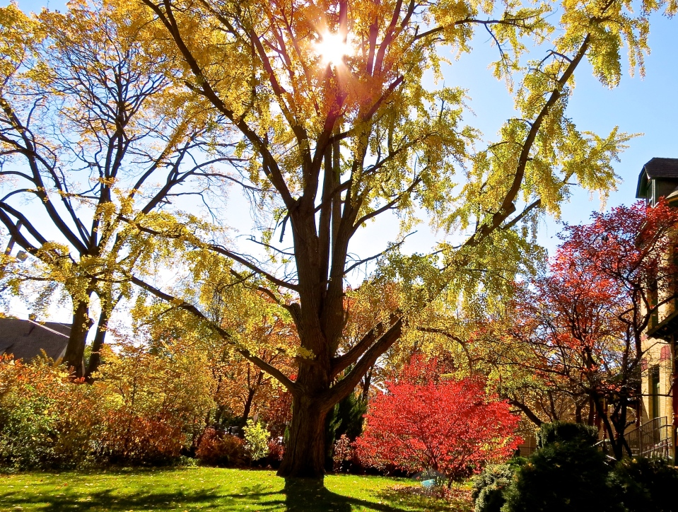 Our 100+ year old Ginkgo Tree at 321 Division Street in the fall.