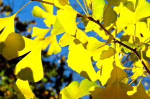 Ginko leaves turning their fall colors.