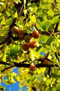 Clusters of Ginkgo fruit ripen on the tree.