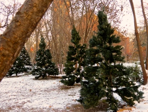 Some of the 21 trees I put up, waiting to be fluffed and lit.