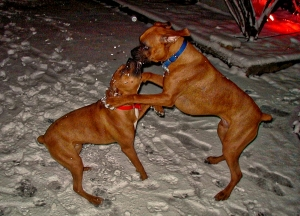 Roxie and Cash play-fighting in the snow.