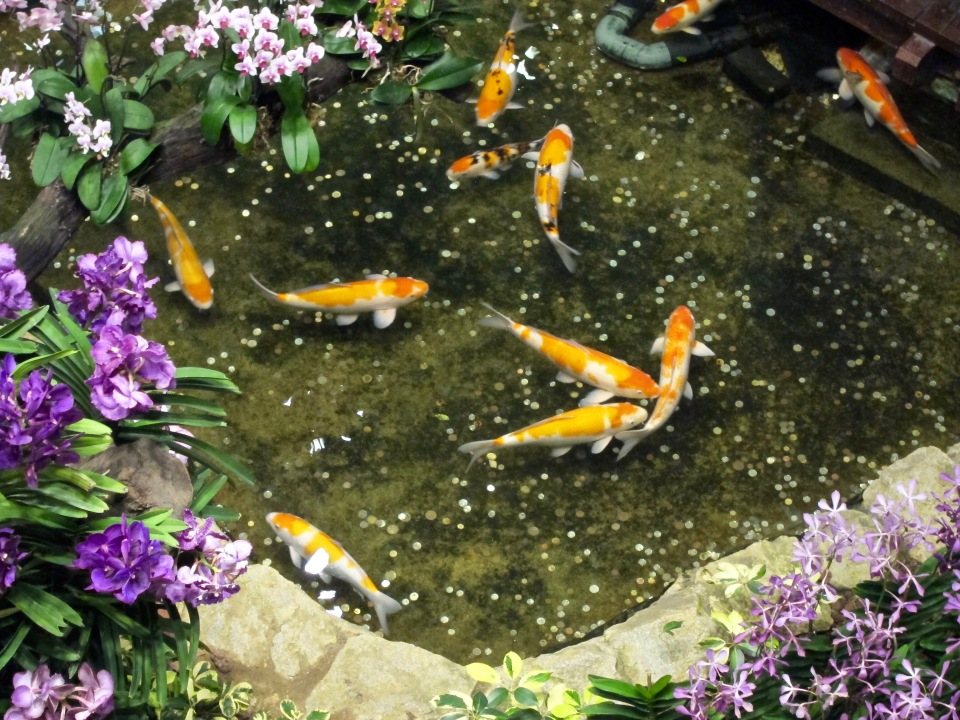 A Koi pond in Changi.