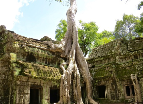 The famous Banyan root at Ta Prohm.