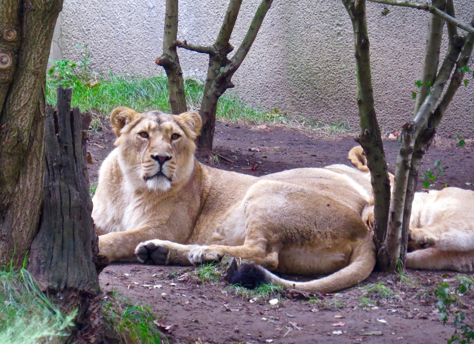 Lions at the London Zoo.