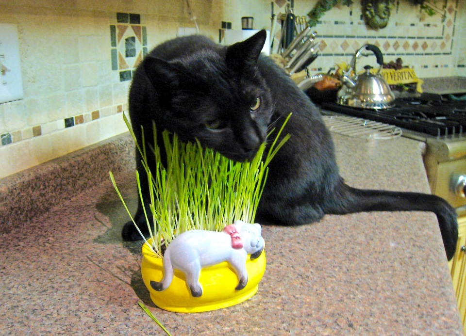 Collins got Chia grass for Christmas (2011) and it was the first (and only) time he jumped up on the kitchen counter.
